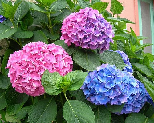 lọ hoa cẩm tú cầu hồng tú cầu